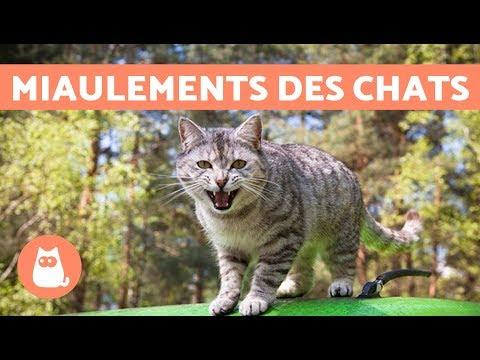 Les Miaulements Des Chats Et Leur Signification :
