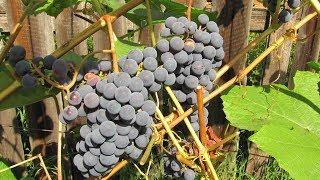 Саженцы винограда осенью Как посадить виноград.