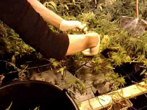 Mammoth 6x3m grow tent with 5 amnesia part 2.wmv & Mammoth 6x3m grow tent with 5 amnesia part 2.wmv - YouTube