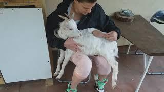 Pielęgnacja naszych kóz