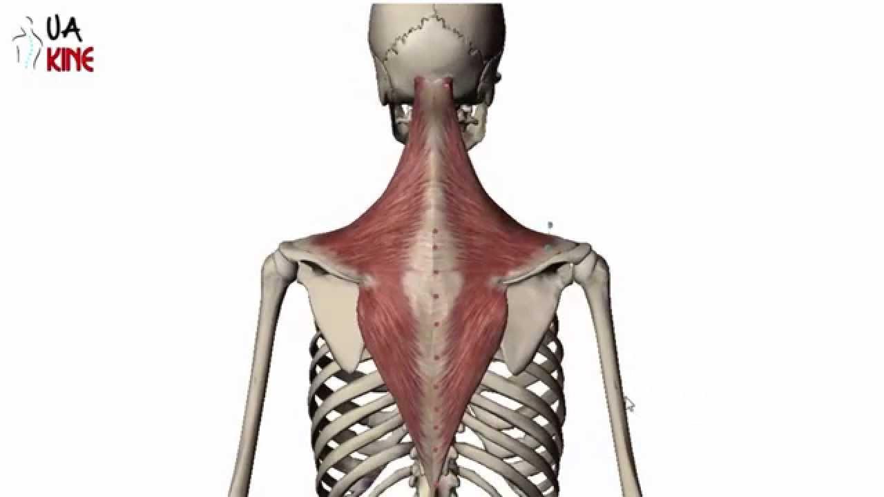 Anatomía músculo Trapecio (características) - YouTube