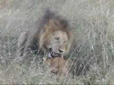 Lion Honeymoon