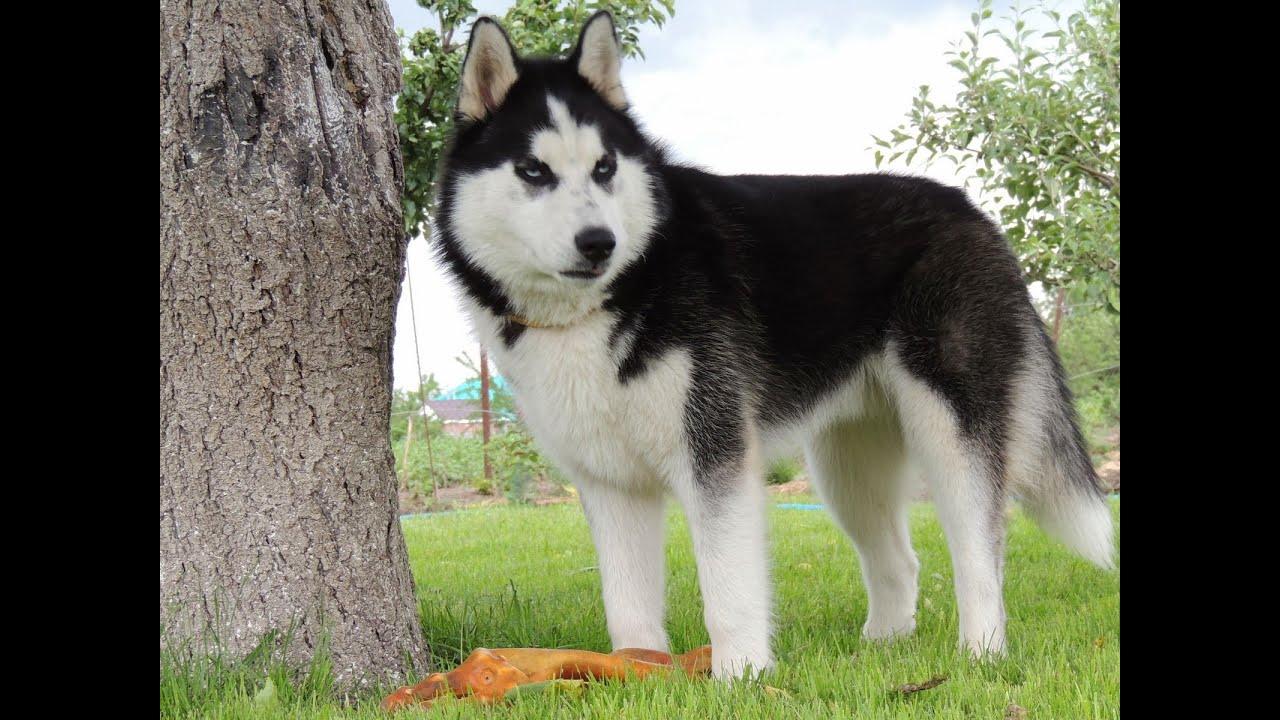 Cómo cuidar y enseñar a un Husky Siberiano