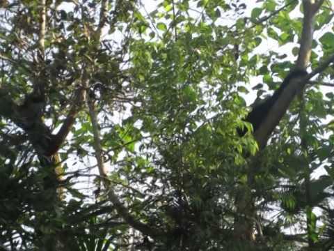 loud, Black Jaguar call + Howler Monkey climbing in Belize