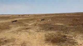 Greyhound  dog is the best when it comes for  hunting