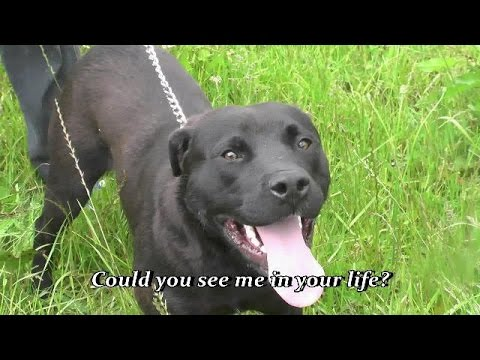 Beautiful Chocolate Lab Will Someone Out There Fall In Love With