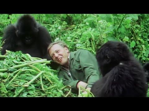 Attenborough Talks About His Famous Gorilla Encounter - Attenborough at 90 #Attenborough90 - BBC