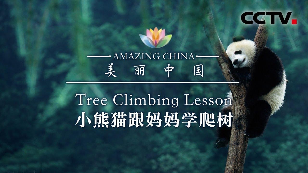 《美丽中国》 小熊猫跟妈妈学爬树 | CCTV
