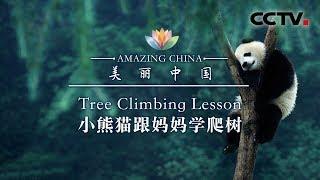 《美丽中国》 小熊猫跟妈妈学爬树   CCTV