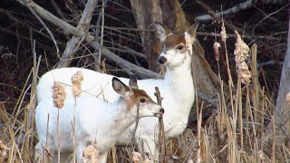 Two Rare Piebald Deer~Pictou County, NS