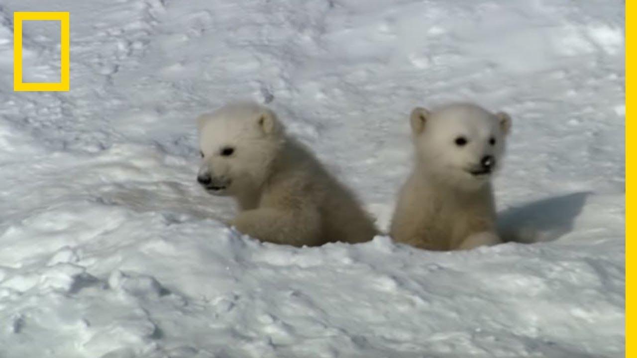 Les premiers pas d'un ourson polaire