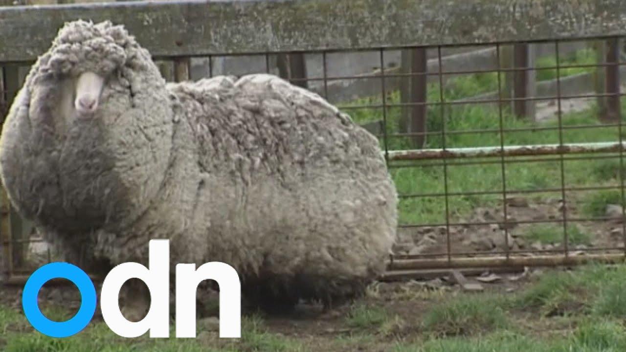 World's wooliest sheep 'found in Australia'