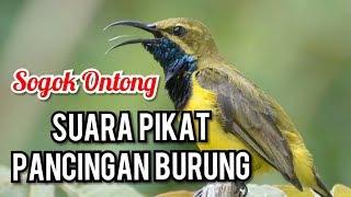 Suara Pikat Masteran Burung Sogok Ontong Kicau Mania