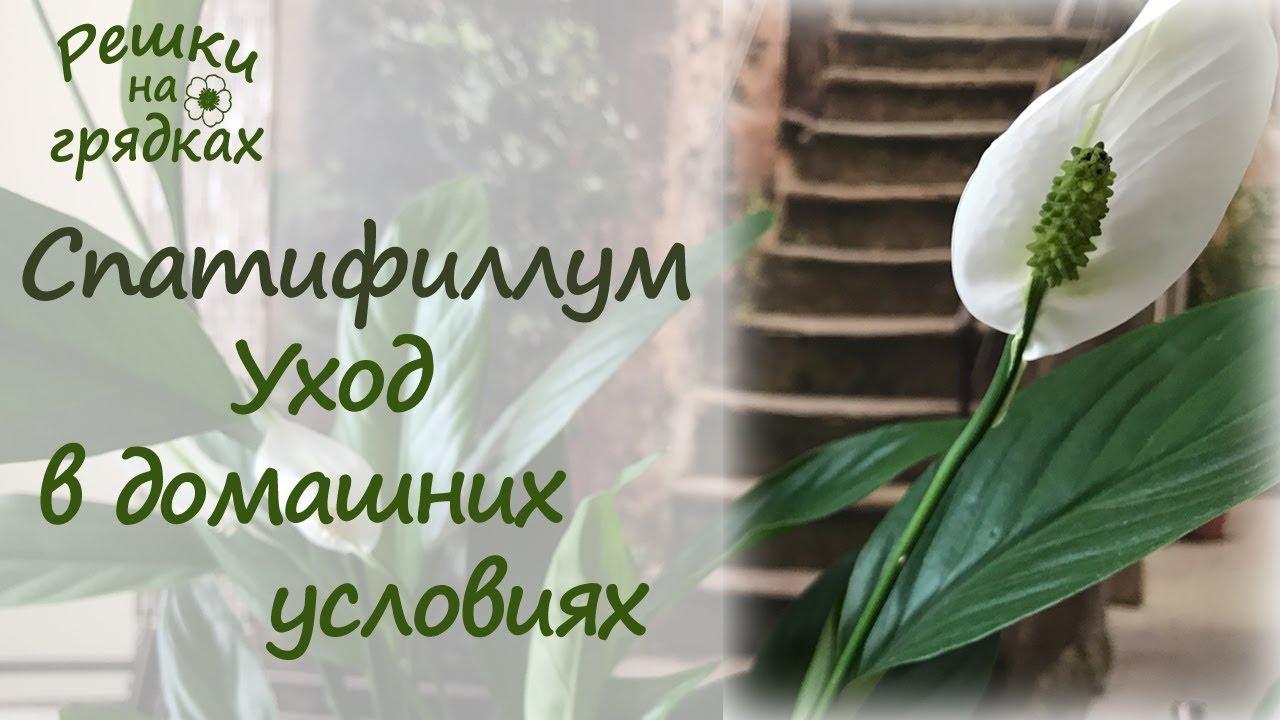 Цветок антуриум зеленеют цветки