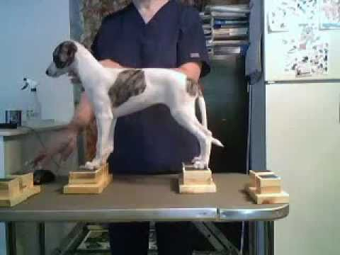 Whippet pup #3 neat feet show dog stacking blocks