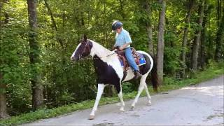 """SOLD """"Domino"""" 7yr 14.3h Tobiano Black White Paint Horse Mare Trail or Show"""