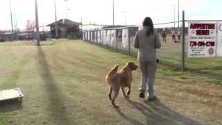 Distraction Trainng, Masen, Golden Retriever, Day 6: Softball, Crowds, Bikes, Kids