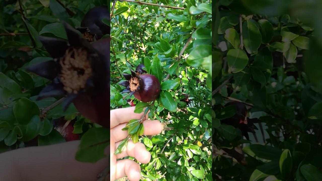 Melograno nero ornamentale alberello. Black pomegranate little tree