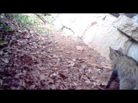 chat forestier cool