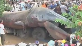 Repeat youtube video GIANT SEA MONSTER FOUND DEAD IN KHMER KROM CAMBODIA? NOVEMBER 21, 2013 (EXPLAINED)