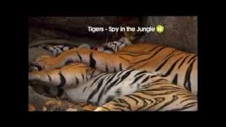 Tiger. Spy in the Jungle