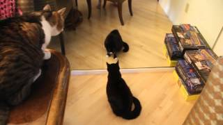 Coretta the Banshee Cat - Cat Attacks Self in Mirror and Howls like a Banshee