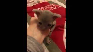 Лиловый котик продаётся