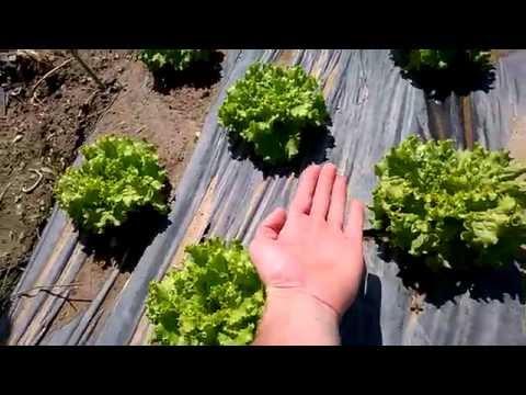 Как в Европе растет листовой САЛАТ Europe Portugal Planting Lettuce
