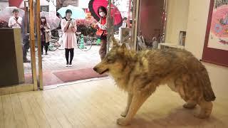 WOLF IN SHINJUKU GANKA GAROU thumbnail
