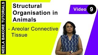 Structural Organisation in Animals - Areolar Connective Tissue