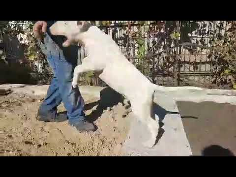 Chris the Bull Terrier puppy for sale by Euro Puppy