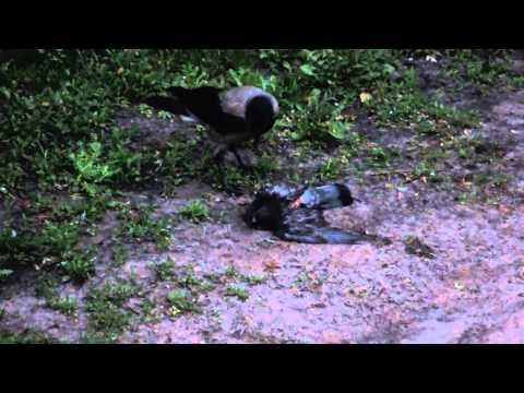 видео: Ворон живьем ест голубя 13 мая 201405 часов утра hd