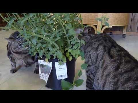Kitties And The Catnip Plant