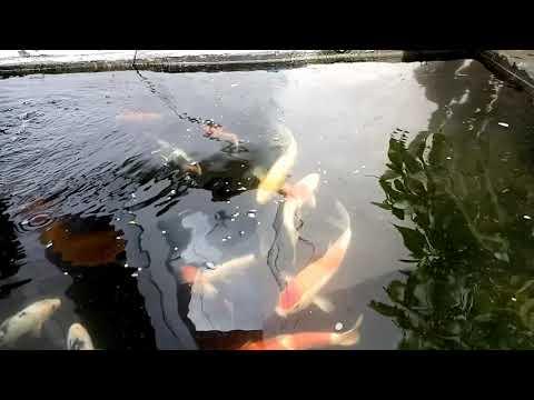 #koitraveling-monsterfish-fish-food-make-body-so-fat-and-good-colors
