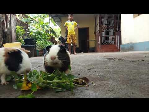 Feeding my guinea pigs