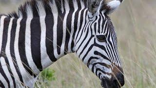 Зебра.Дикая Африка.