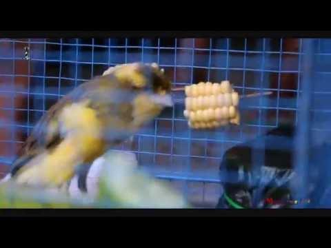 Download Lagu HOBBY BURUNG : Tips Om Putra Baron Mengirim Burung Ke Luar Daerah
