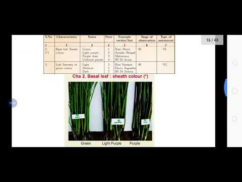 DUS Testing And Guidelines In Rice