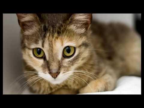 Порода кошек . Цейлонская кошка родом из Италии(Единственный вид выведен в Италии)