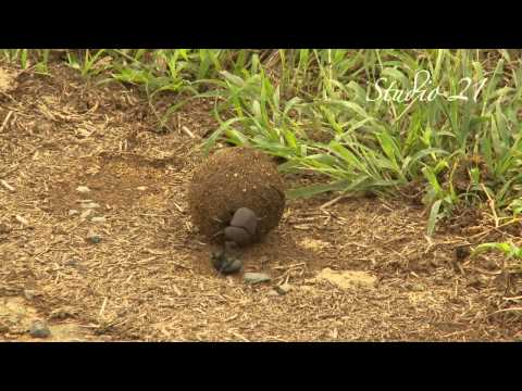 Dung Beetle Fight