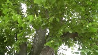 Gigantischer Baum Naturdenkmal