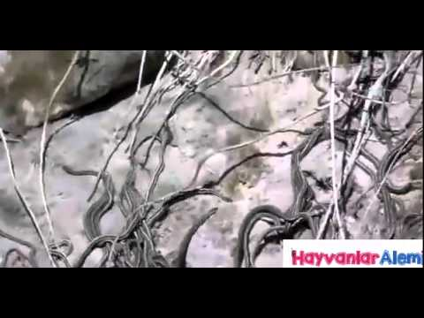 Snakes Mating Ball CLOSE UP - Animals Mating Hard ANd Fast Long Time For Rea