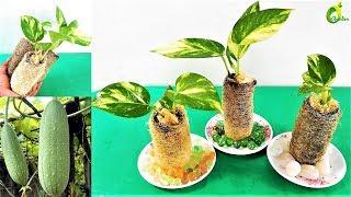 new way to grow money plant  in loofah sponge/money plant tree/ORGANIC GARDEN