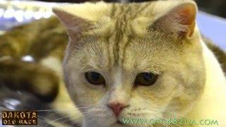 Котята шотландской вислоухой из питомника  de Nicole  5
