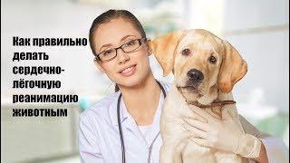 Как правильно делать сердечно-лёгочную реанимацию животным