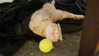 寝ている短足猫にテニスボールを近づけてみた結果…w