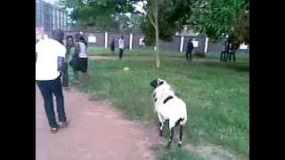 [VERY FUNNY VIDEO] UNIBEN RAM