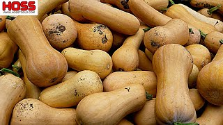 THE MOST PROLIFIC BUTTERNUT SQUASH VARIETY WE'VE EVER SEEN!