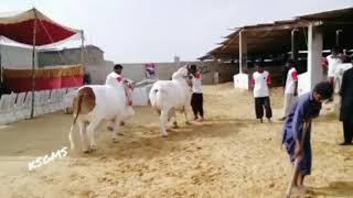 Very beautiful big Bull in Pakistan in 2018