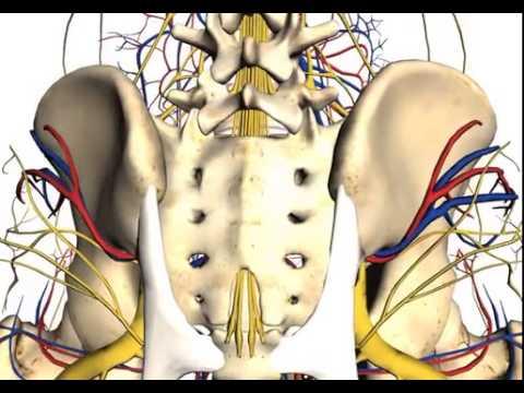 Anatomy Of Posterior Iliac Crest Bone Marrow Biopsy Youtube